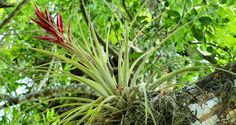 Roridula the South African Carnivorous Plant