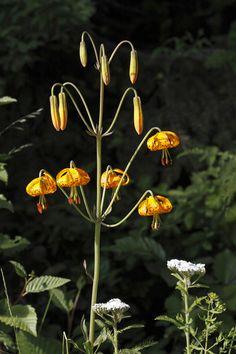 Tiger Lily (Lilium columbianum) Wildflowers of Tillamook County Oregon