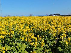 #Aichi #Field #Flowers #Japan #Yellow