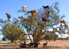 Las cabras pastando en el árbol de argán, Marruecos. se puede ver en las zonas de Marruecos, donde hay una grave escasez de pasto. pastores transportando cabras de árbol en árbol y recogiendo las semillas de la fruta de la saliva de cabra de argán eso. De ellos producen valioso aceite de argón utilizado en los cosméticos.