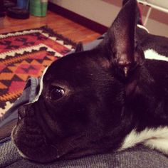 Rocco the frenchie