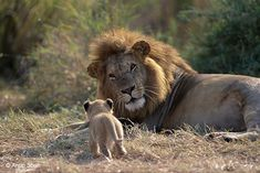 Wildlife photographer of the year Natural History Museum http://www.nhm.ac.uk/discover/wildlife-photographer-of-the-year-cats-on-camera.html Male lion looking at approaching tiny cub from his Pride