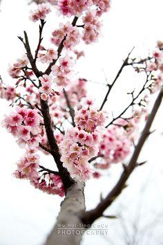 Dogwood tree - Sakura.櫻花 by CoCoa Wu, via 500px