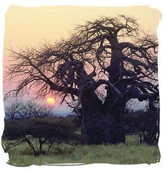 Beauty of an African setting as the sun fades into the night, creating a marvelous sunset and some back lighting off a tree.