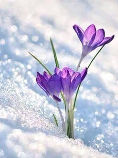 First Sign Of Spring by Perry Wunderlich - Crocus flowers peaking through the snow on a sunny spring day - ? Spring Sign, Spring Day, Early Spring, Amazing Flowers, Beautiful Flowers, Spring Flowers, Wild Flowers, Types Of Hydrangeas, Arte Floral
