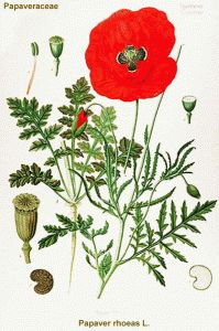 Q-3. What is the Poppy Flowers significance to Memorial Day?