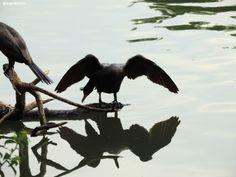 Biguá (Phalacrocorax brasilianus) fotografado no Pq. Ibirapuera em Maio/14.