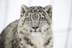 Cats all day, everyday! Great White Shark, Little Critter, Snow Leopard, Big Cats, Wolves, Amazing, Leopards, Animaux, Bebe
