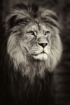 Lion by Paco de la Luz on 500px