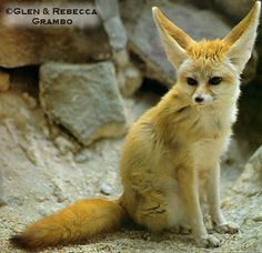 The Fennec Fox, sometimes called the Desert Fox, is the smallest member of the fox family. It grows to about 1 1/2 feet high and weighs an average of 3 pounds. The Fennec Fox is dust colored, which helps it blend in with its natural habitat, the Sahara Desert.