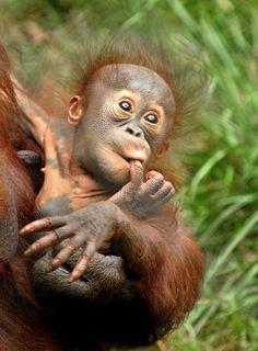 Risultati immagini per baby orangutan nursing