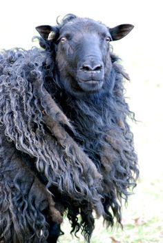 Icelandic Sheep - don't know if I like the sheep for sheepself or for that glorious wool.