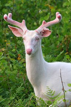 "Albino deer. See Over 2000 more animal pictures on my Facebook ""Animals Are Awesome"" page. animals wildlife pictures nature fish birds photography"