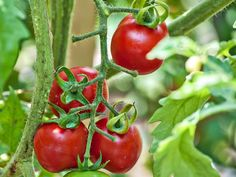 Growing Organic Tomatoes 3 Common Tomato Plant Problems and How to Prevent Them - Many tomato problems aren't noticed until the fruit ripens? Here are tips for dealing with 3 common problems and how to avoid them in the future. Growing Tomatoes From Seed, Growing Tomato Plants, Tomato Seedlings, Growing Tomatoes In Containers, Tomato Growers, Best Tasting Tomatoes, Tomato Farming, Green Tomatoes, Baby Tomatoes