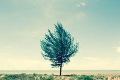 Alone pine tree by Pushish Images on @creativemarket