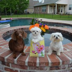 Day 1⃣1⃣: Happy Mothers Day from me, Brooke and Monte! @doggiephotoaday #doggiephotoaday #mothersday #happymothersday #dachshund #maltese @montethemaltese