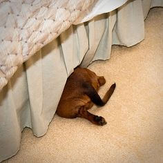 Crouching Tiger, Hiding Dachshund by The butt. Dachshund Funny, Dachshund Love, Daschund, I Love Dogs, Puppy Love, Cute Puppies, Cute Dogs, Weenie Dogs, Doggies