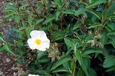 Cistus laurifolius - laurel-leaved rock rose -  How to grow  Cultivation Will grow well in poor soils, but requires full sun and shelter  Propagation Propagate by seed or softwood cuttings  Suggested planting locations and garden types Drought Resistant Banks and Slopes Low Maintenance Ground Cover Mediterranean Climate Plants Cottage & Informal Garden City & Courtyard Gardens How to care  Pruning Pruning group 8 or pruning group 5  Pests Generally pest free  Diseases Generally disease free…