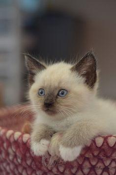 Precious siamese kitten with boots !!!!!