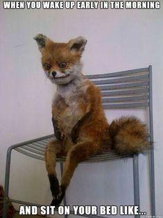tired fox - Imgur
