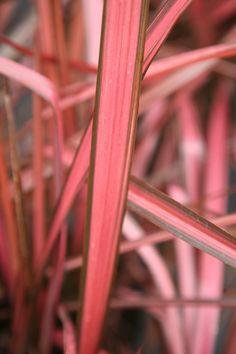 Buy New Zealand flax Phormium 'Evening Glow': Delivery by Crocus