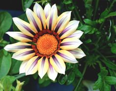 Colourful Tiger Gazania flowers