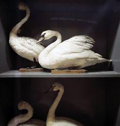 Taxidermy swans #birds #art #nature
