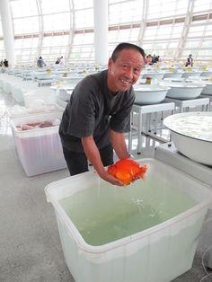Master Wang who focuses on breeding big Goldfish -- for God's sake, Wang, put the poor thing back in the water! Goldfish Species, Goldfish Breeding, Freshwater Aquarium Fish, Aquarium Fish Tank, Comet Goldfish, Fish Room, Golden Fish, Cool Fish, Fish Care