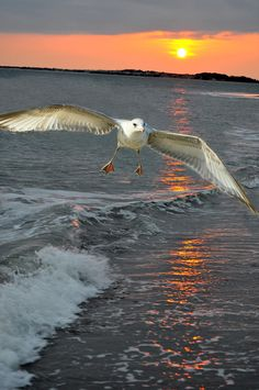 ✮ A seagull landing over the ocean at sunset