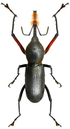 Rhinostomus barbirostris