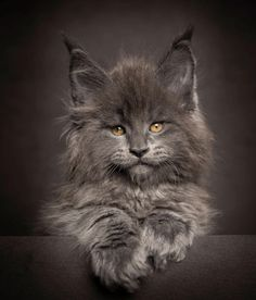 This Maine Coon kitten is the most badass kitten Ive ever seen. by SmokeyJoPenguin cats kitten catsonweb cute adorable funny sleepy animals nature kitty cutie ca