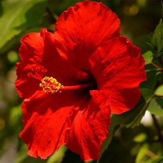 100pcs/bag Hibiscus Seeds,24 color to choose,