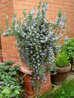 If you are studying herbal magic or any form of Witchcraft that involves herbs, let me introduce you to rosemary! Here are details, how to grow it, its many medicinal, magical and folk uses! Natural Mosquito Repellent Plants, Best Mosquito Repellent, Compost, Potager Bio, Comment Planter, Herbaceous Perennials, Herbs Indoors, Save The Bees, Plantation