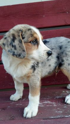 Australian Shepherd puppy. Australian Shepherd dog calendars at http://wildlife-calendars.com/australian-shepherd-calendars.htm