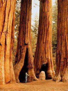 Gigantic Sequoias, Sequoia National Park, California, USA