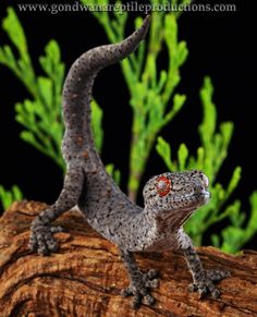 Eastern Spiny-tailed Gecko or Soft-spined Gecko (Strophurus williamsi) - endemic to Australia. Cute Reptiles, Reptiles And Amphibians, Mammals, Geckos, Lizard Species, Animals And Pets, Cute Animals, Salamander, Mundo Animal