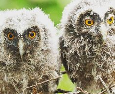 The Hawk Conservancy Trust in Andover, Hampshire welcomed two new long-eared owlets last month. The three-week old balls of fluff have already been introduced to members of the public in the attraction's Discovery Barn, and it is hoped both birds will fly in displays in the future. The long-eared owl is native to Europe, Asia …