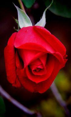 Beautiful Flowers Wallpapers, Beautiful Roses, Colorful Roses, Flower Wallpaper, Rose Buds, Red Roses, Floral Arrangements, Plants, Flowers Garden