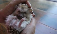 A Day in the Life of a Hedgehog (Video)