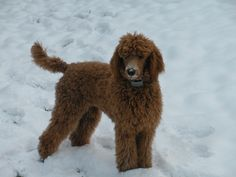 New Mexico Red Standard Poodle Puppy Puppies Breeder NM love this guy.i like the more natural look to his locks. Ears could be sheared a little more though. Red Poodles, Standard Poodles, Natural Looks, Locks, Ears, Mexico, Puppies, Friends, Animals