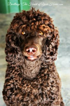 This is a beautiful chocolate standard poodle.  Website says his name is Dylan.  It fits him.