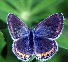Karner Blue Butterfly (Lycaedes melissa samuelis)–Endangered Species of the Week!