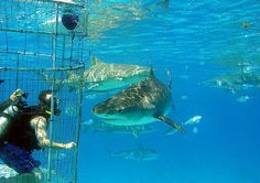 Great White Shark Cage Diving in Gansbaai, South Africa South Africa Holidays, Cape Town South Africa, Orcas, Activities In Cape Town, Snorkeling, Guadalupe Island, Shark Diving, Sharks, Scuba Diving