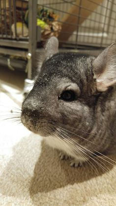 Titus forgot to shake all the sand off after his sand bath! #aww #cute #chinchilla #chinnies #chinchillasofpinterest #cuddle #fluffy #animals #pets #bestfriend #boopthesnoot #itssofluffy #rodents