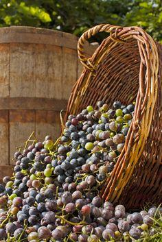 Cabarnet Grape Harvest