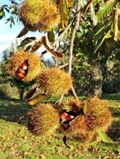 Castanhas Trás-os-Montes Roteiro completo: http://www.myownportugal.com/portugal-florido/castanhas/