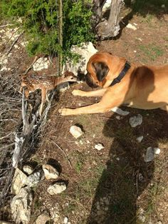 Mastiff making friends with a deer..