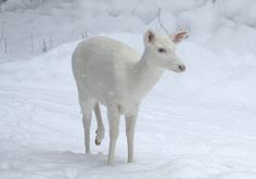 Albino Whitetail deer. I will hopefully see one if these on a hunting trip before I die.