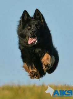 elite airborne on a mission to get his man. Long Coat German Shepherd, Husky, Dogs, Animals, German Shepherds, Dog, Animales, Animaux, Pet Dogs