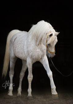 Cajun Man (Ansata Shah Zahir x AK Riada x AK Shah Moniet) 1993 Grey Stallion